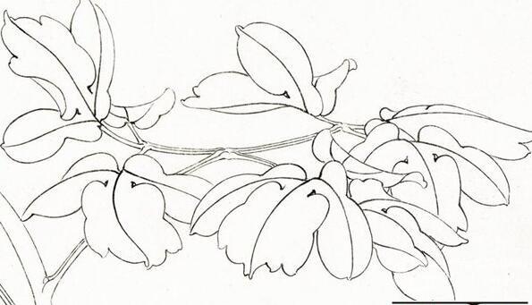 白描花卉画画教程,详解花的结构