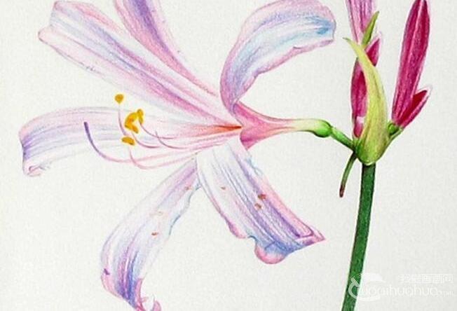 彩铅画花卉绘画教程 彩色铅笔画石蒜的手绘过程