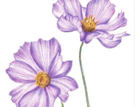 彩铅波斯菊的绘画技法