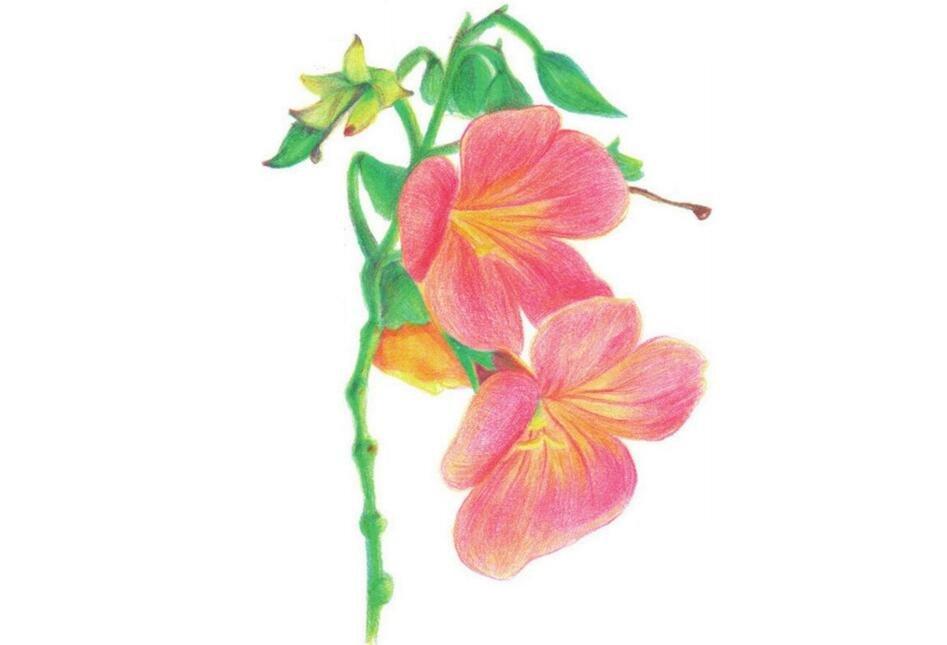 彩铅凌霄花的绘画技法