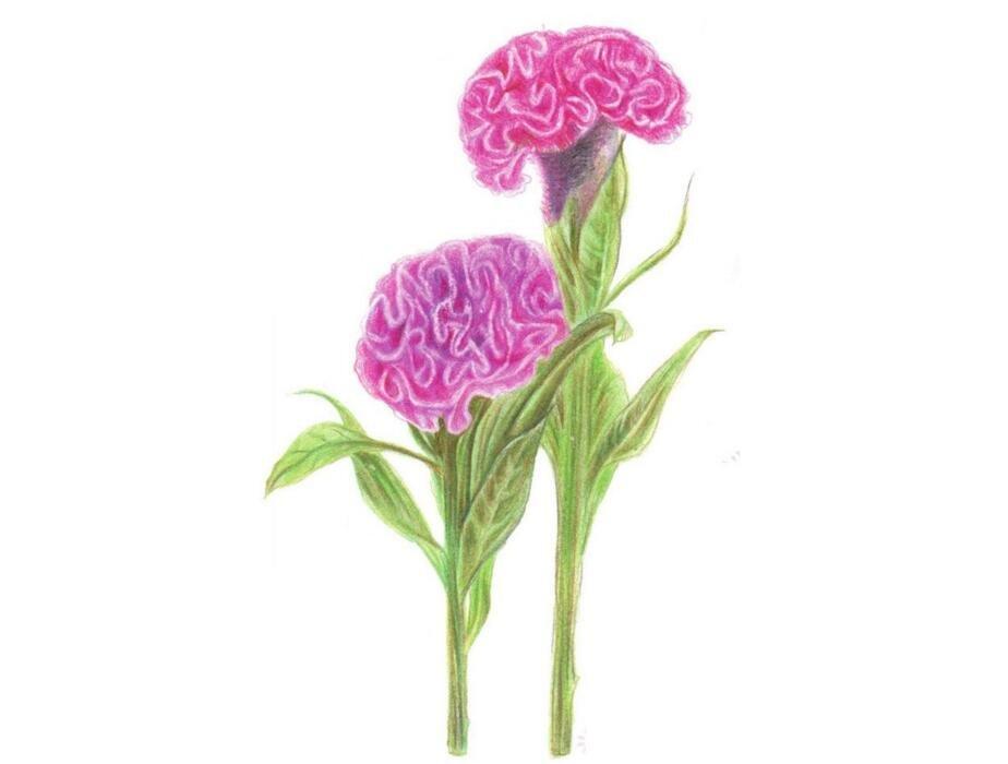 彩铅鸡冠花的绘画教程