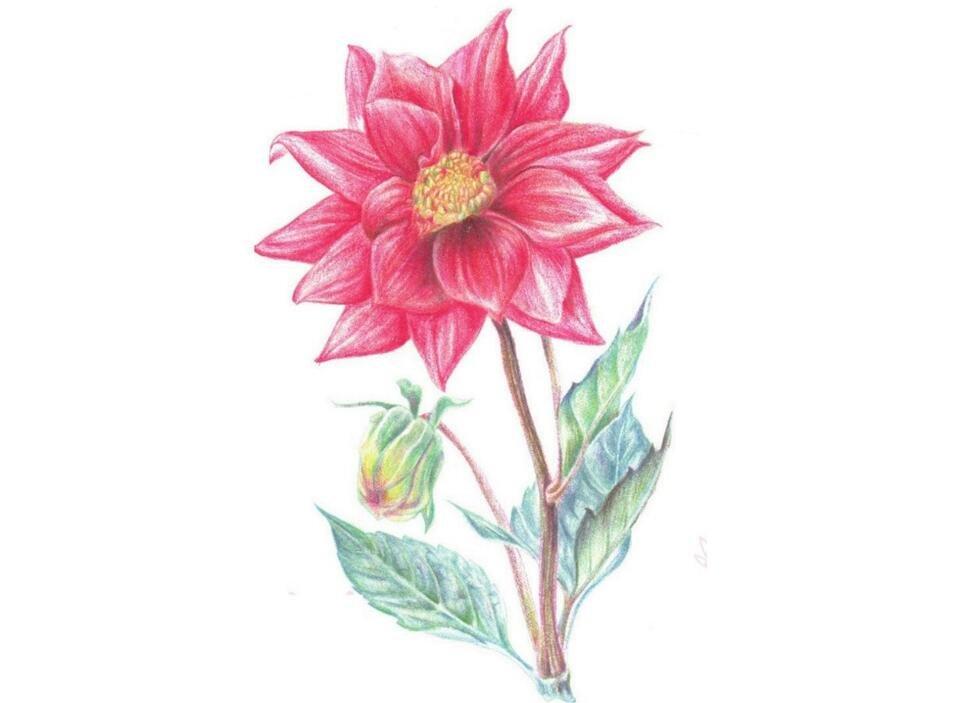 彩铅大丽花的绘画方法