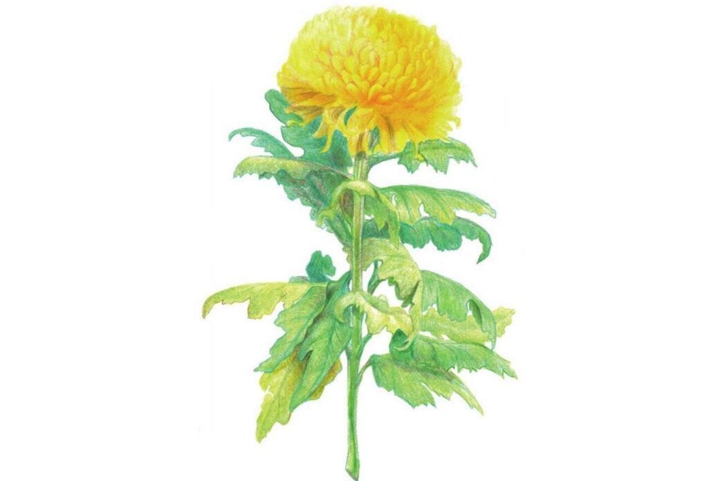 彩铅黄菊花的绘画技法