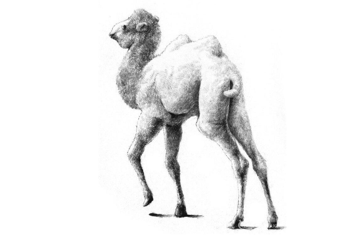 素描小骆驼的绘画技法