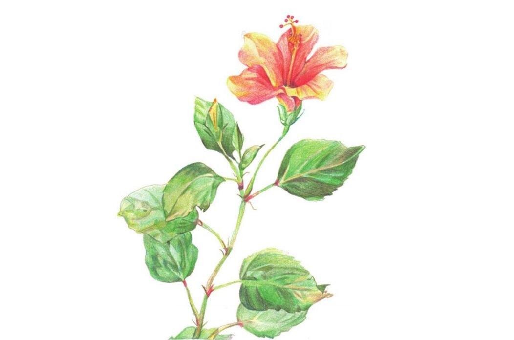 彩铅扶桑花的绘画教程