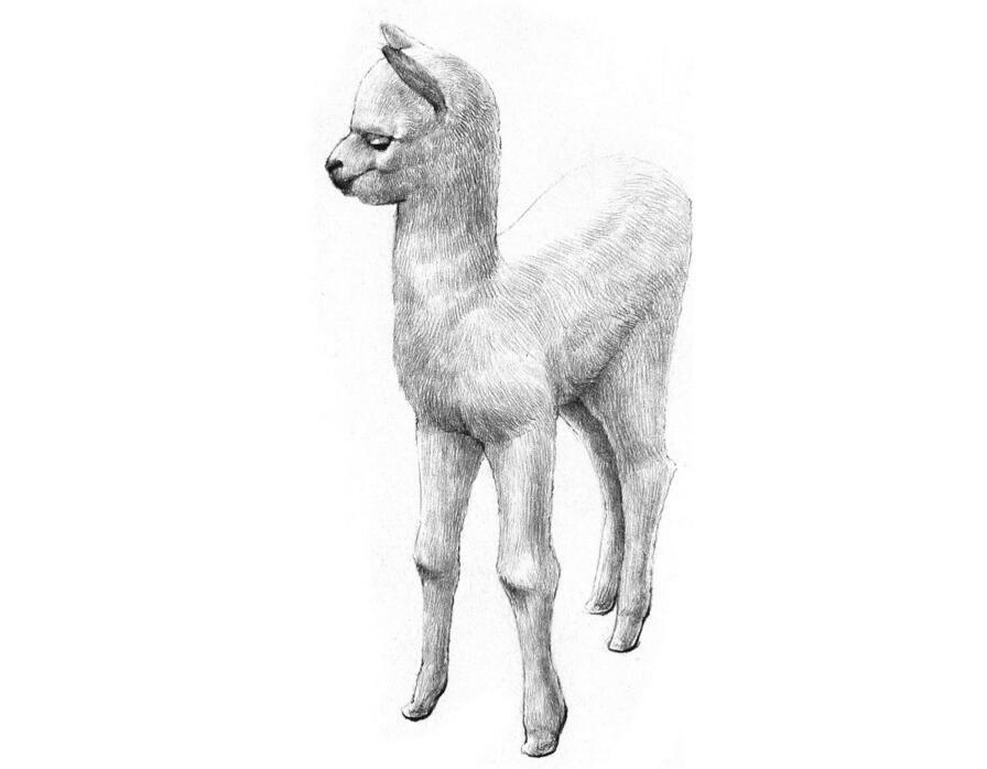 素描羊驼的绘画教程