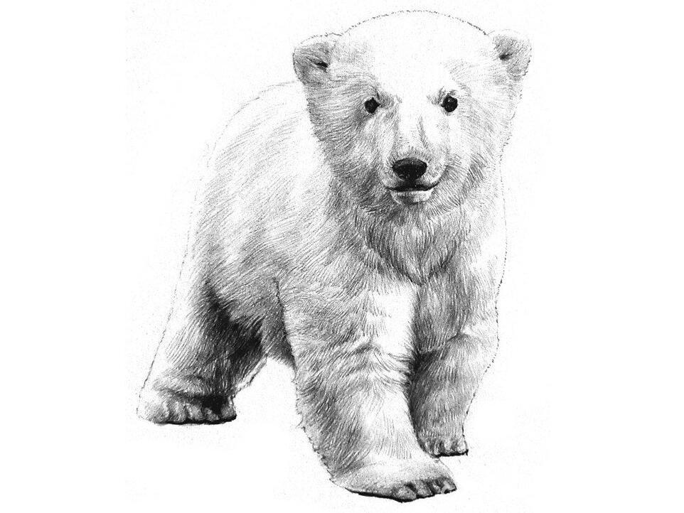 素描小北极熊的绘画教程