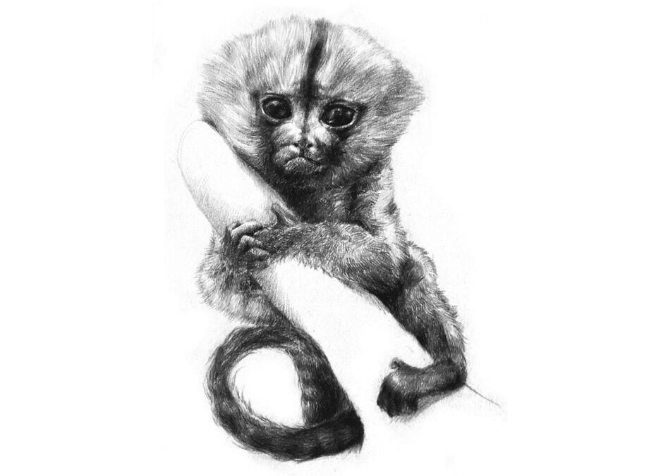 素描小眼镜猴的绘画步骤