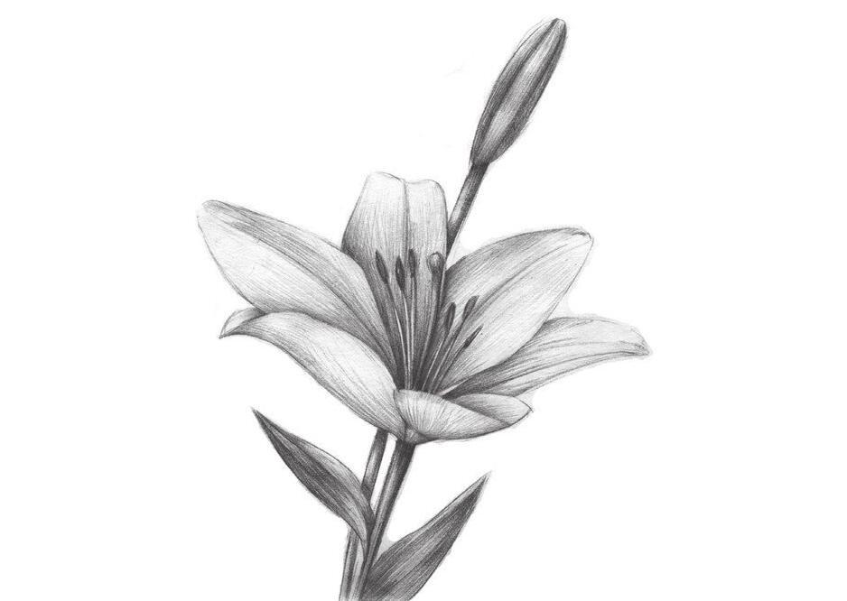 素描百合的绘画技法