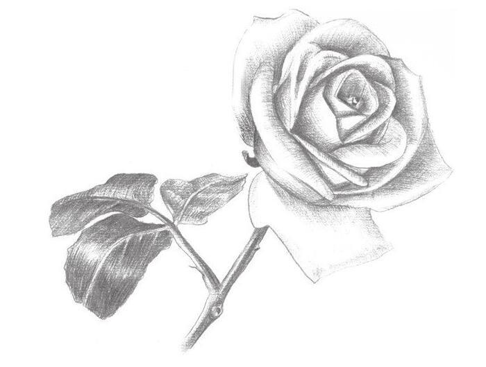 素描白玫瑰的绘画技法