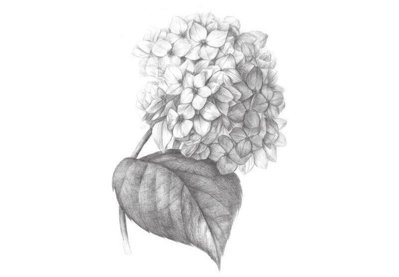 素描绣球花的绘画教程