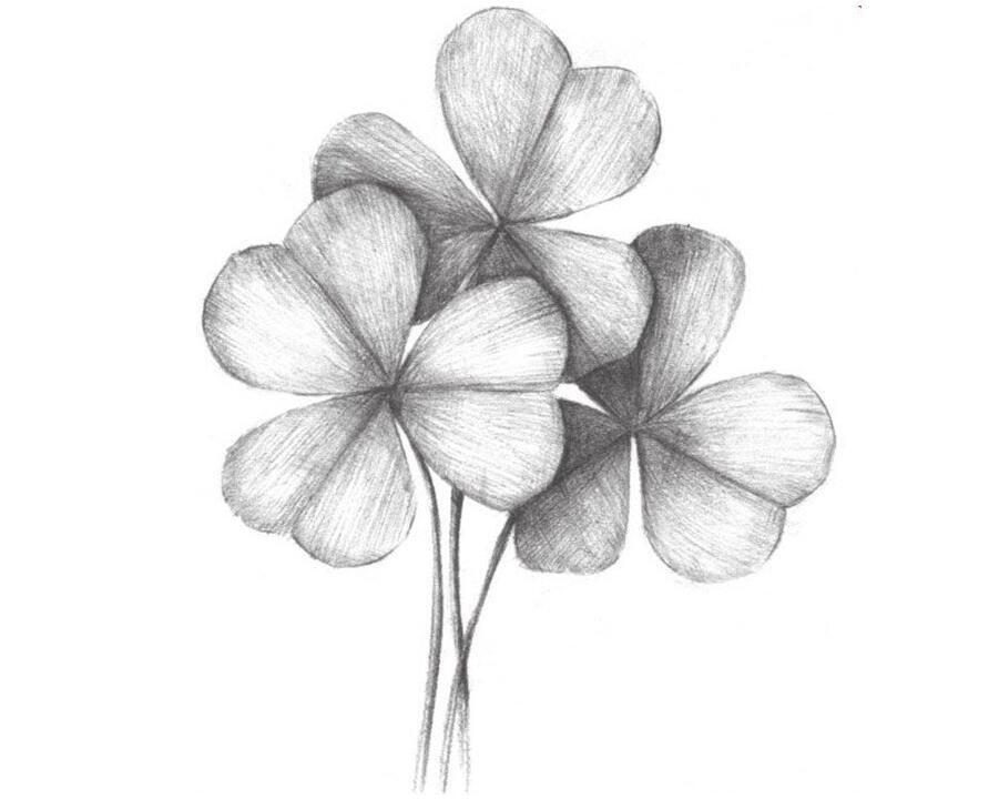 素描三叶草的绘画教程
