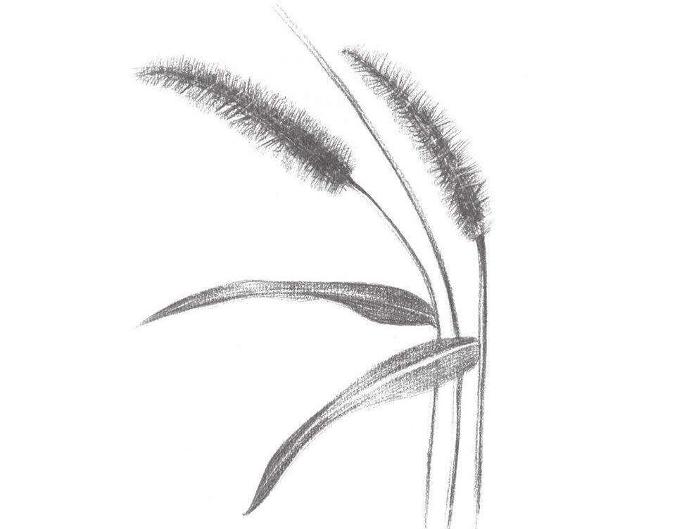 素描毛毛草的绘画技法