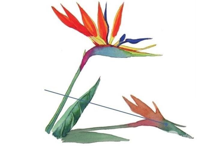 水彩长投影示例天堂鸟绘画教程