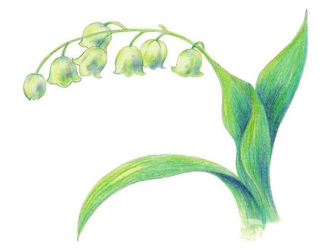 水粉铃兰花绘画技法