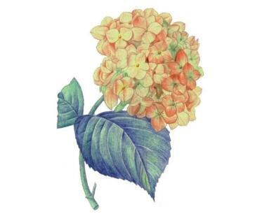 水粉绣球花的绘画技法