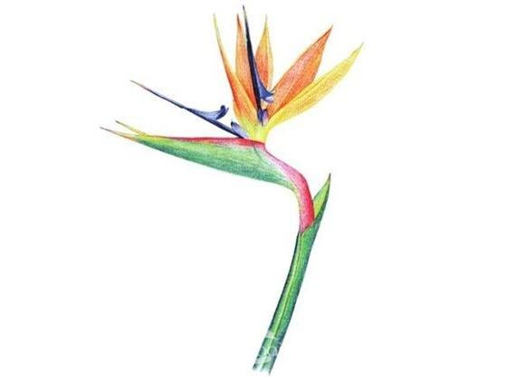 水粉天堂鸟的绘画步骤
