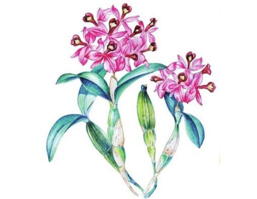 水粉石斛兰的绘画教程