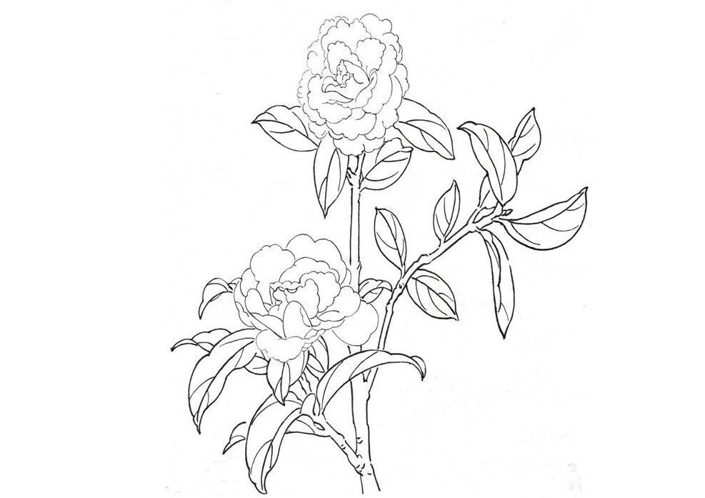 白描茶花的绘画教程