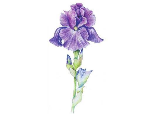 彩铅鸢尾花的绘画技法
