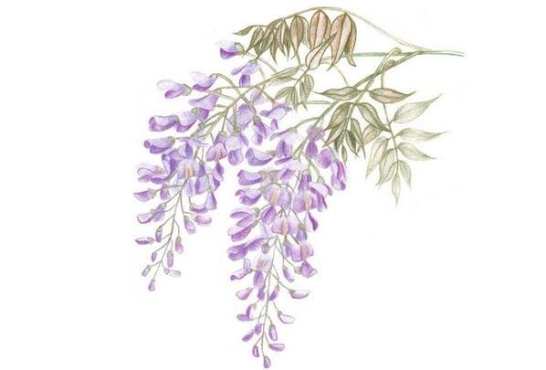 彩铅紫藤花的绘画步骤