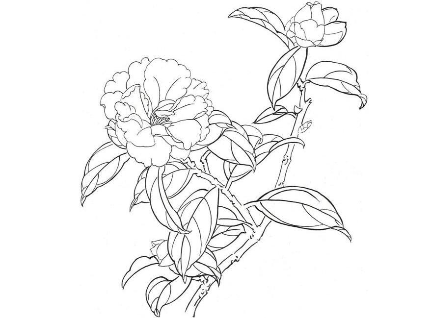 白描大理茶的绘画步骤