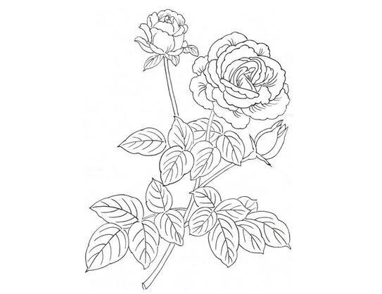 白描月季花的绘画步骤