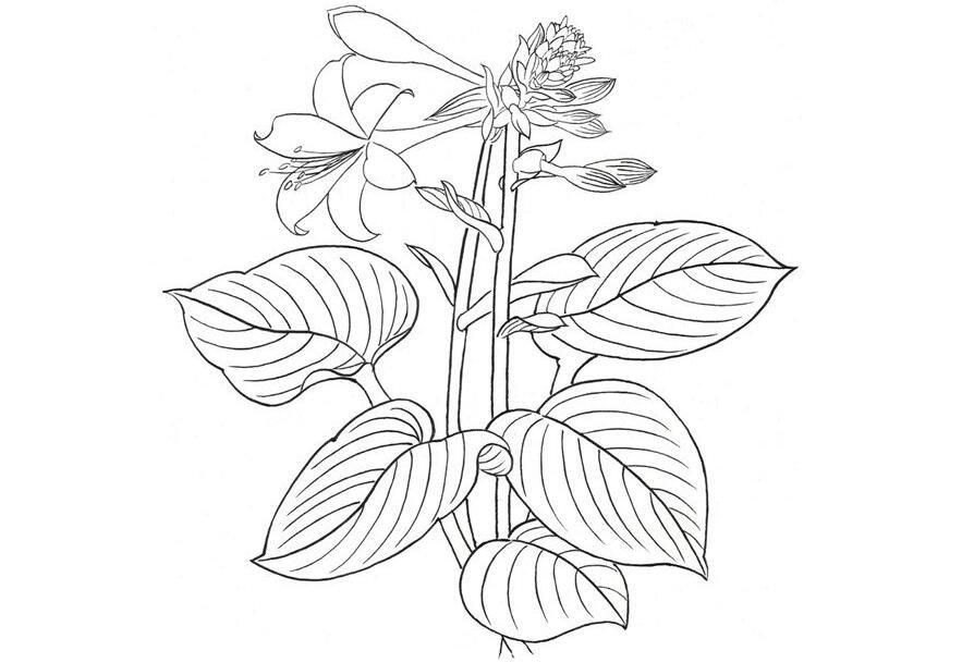白描玉簪花的绘画步骤