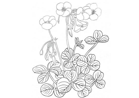 白描酢浆草的绘画技法