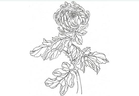 白描菊花的绘画步骤