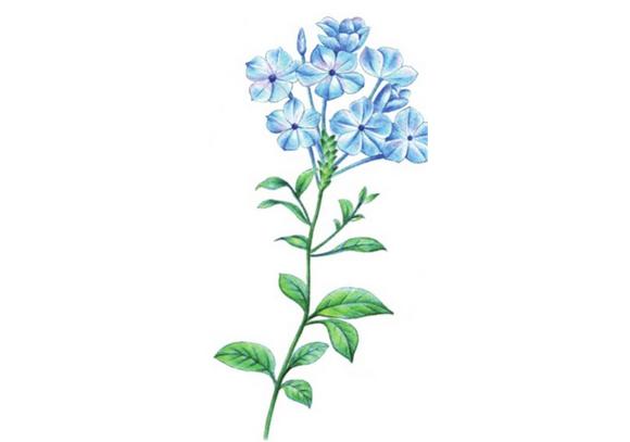 彩铅蓝雪花的绘画技法