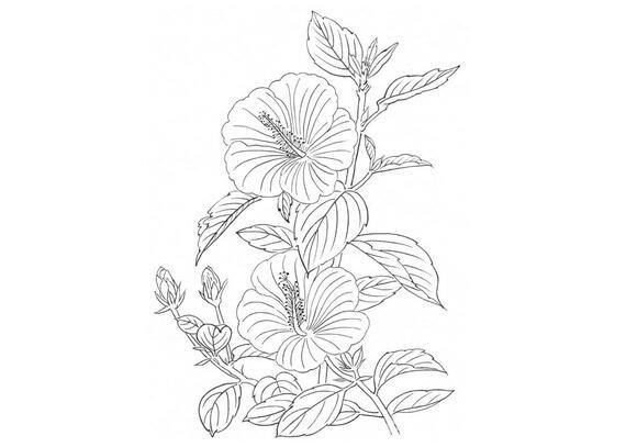 白描扶桑花的绘画步骤