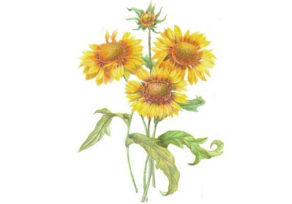 彩铅向日葵的绘画技法