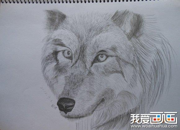 简单狼画素描,狼咆哮的正面素描图,狼画素描