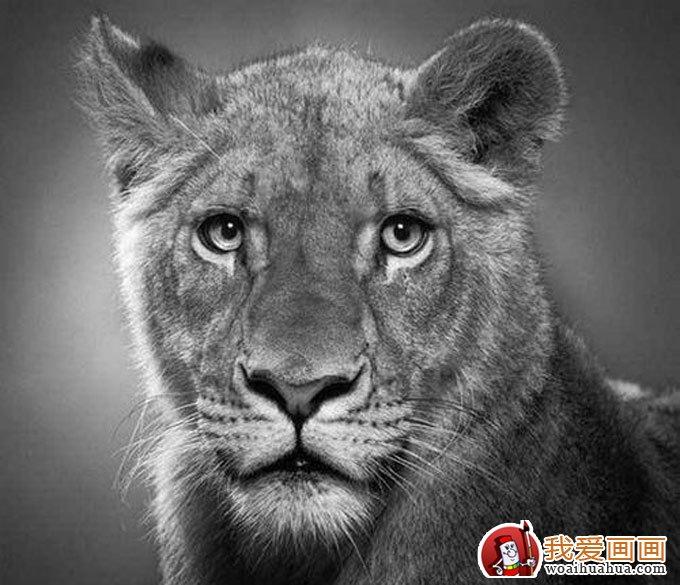 动物素描画:超级写实动物素描图片以假乱真(5)