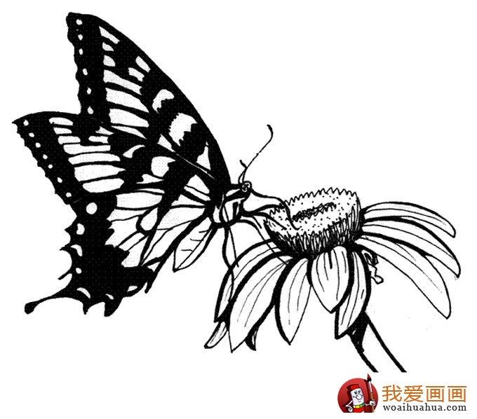 画蝴蝶,美丽的花蝴蝶简笔画图片 6