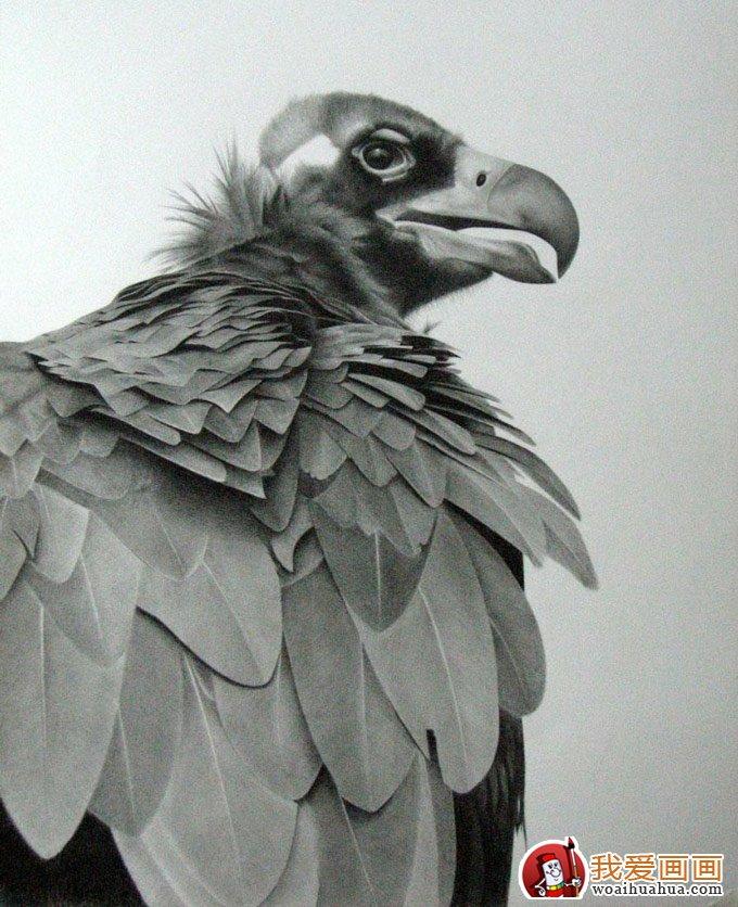 动物素描图片欣赏:超写实猛禽素描画