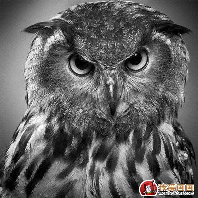 动物素描图片欣赏:超写实猛禽素描画(2)