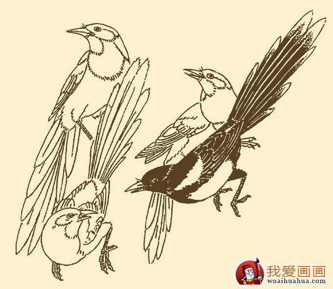 喜鹊简笔画5副,儿童简笔画喜鹊图片(3)