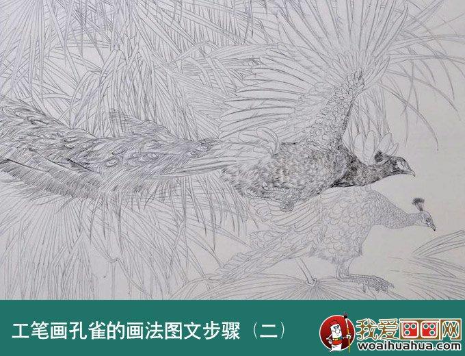 效果。所以背景棕榈树使用较淡的墨勾线,两只孔雀墨色也有所区分。  工笔孔雀绘画步骤二、淡墨分染,孔雀各个部位的羽毛是不尽相同的,所以在分染时要注意质感的表现。背景棕榈树使用淡赭墨(墨+赭石+藤黄)分染,用色一定要淡。