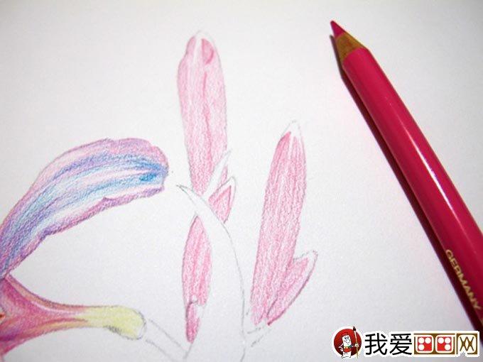 彩铅画花卉绘画教程 彩色铅笔画石蒜的手绘过程 12