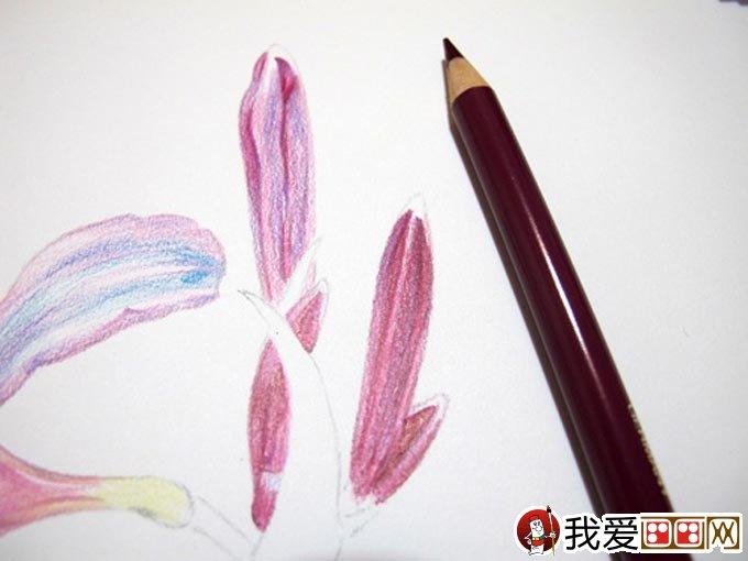 彩铅画花卉绘画教程 彩色铅笔画石蒜的手绘过程 13