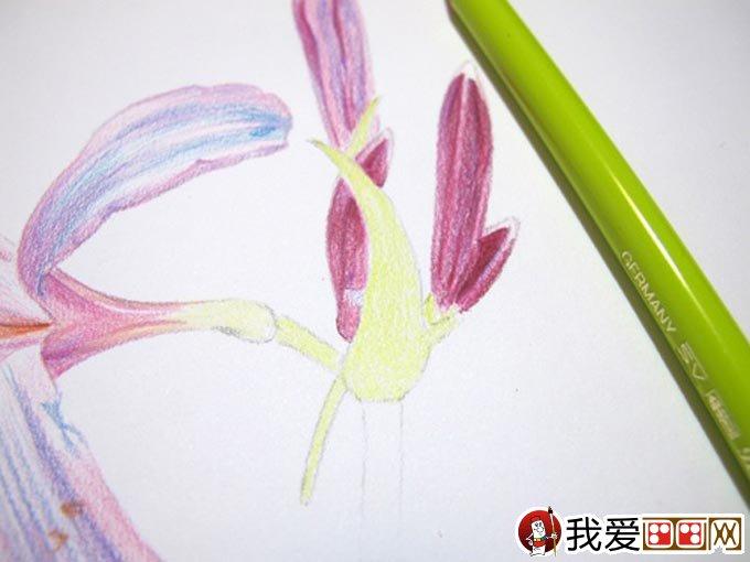 彩铅画花卉绘画教程 彩色铅笔画石蒜的手绘过程(14)
