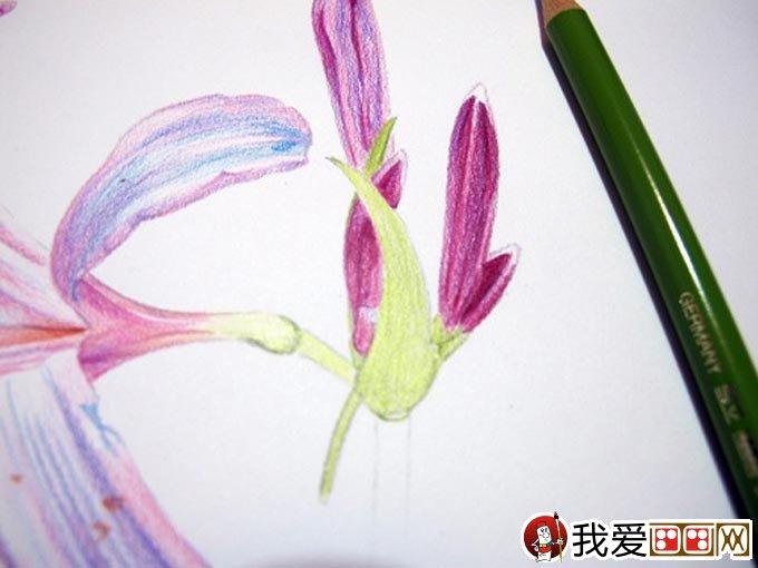 彩铅画花卉绘画教程 彩色铅笔画石蒜的手绘过程 14