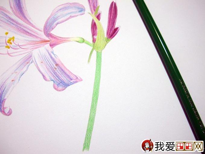 彩铅画花卉绘画教程 彩色铅笔画石蒜的手绘过程 15
