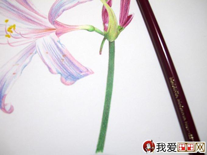彩铅画花卉绘画教程 彩色铅笔画石蒜的手绘过程 16