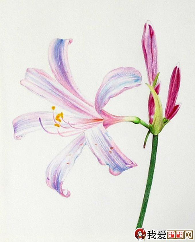 彩铅画花卉绘画教程 彩色铅笔画石蒜的手绘过程(16)
