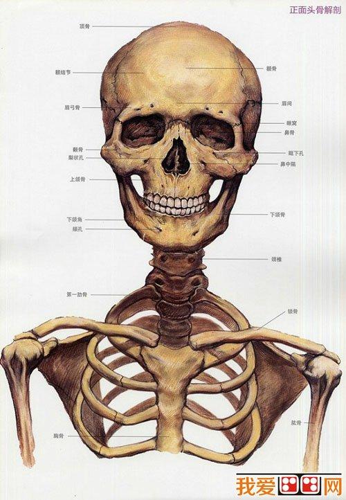 头颅骨骼结构图