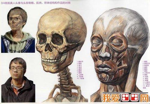 真人头像与头部骨骼,肌肉