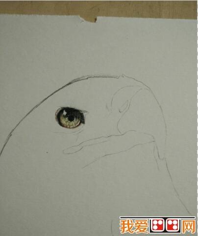彩铅画教程:白头海雕彩铅画步骤教程详解